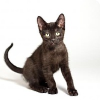 Adopt A Pet :: Daphne - Kingston, ON