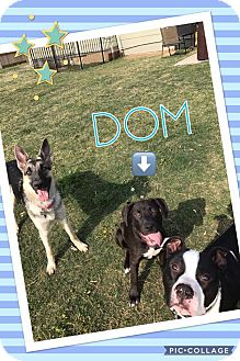 American Pit Bull Terrier Mix Puppy for adoption in Wichita, Kansas - Dom