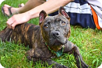 American Pit Bull Terrier/Cane Corso Mix Puppy for adoption in Reisterstown, Maryland - Markie