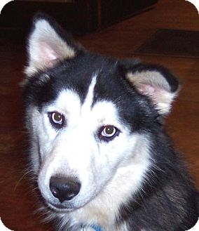 Siberian Husky Dog for adoption in Guthrie, Oklahoma - Koda