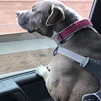 Adopt A Pet :: Paisley - Corrales, NM