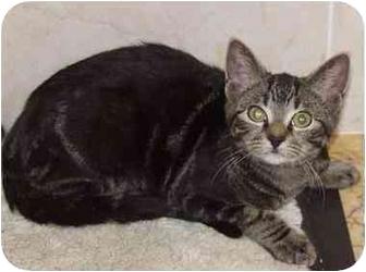 Domestic Mediumhair Kitten for adoption in Laurel, Maryland - TipToe