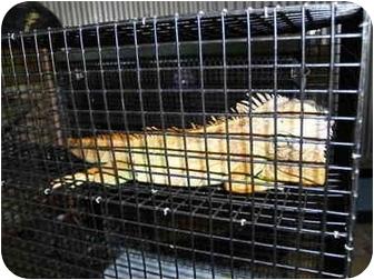 Iguana for adoption in El Cajon, California - Iggy