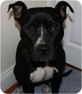 American Pit Bull Terrier Mix Dog for adoption in Reisterstown, Maryland - Walter