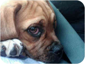 Beagle/Pug Mix Puppy for adoption in Joliet, Illinois - Duff