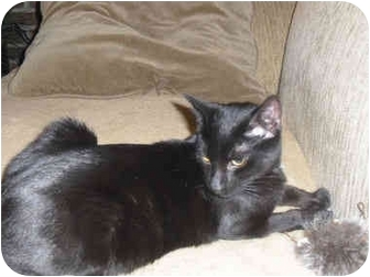 Domestic Shorthair Cat for adoption in Little Falls, New Jersey - KITKAT (DS)