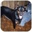 Photo 2 - Doberman Pinscher Dog for adoption in Green Cove Springs, Florida - Zena