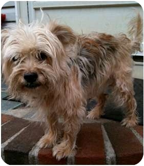 Yorkie, Yorkshire Terrier/Terrier (Unknown Type, Small) Mix Dog for adoption in Plymouth, Massachusetts - Sebastian
