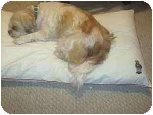 Shih Tzu Mix Dog for adoption in Croton, New York - Cam