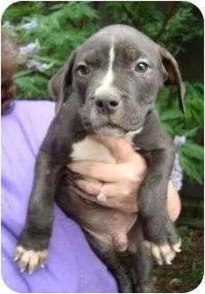 Labrador Retriever/Terrier (Unknown Type, Medium) Mix Puppy for adoption in Spring Valley, New York - Luke