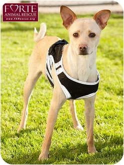 Whippet/Basenji Mix Dog for adoption in Marina del Rey, California - Poindexter