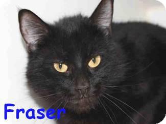 Domestic Shorthair Cat for adoption in Vista, California - Fraser