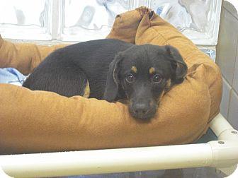 Welsh Corgi Mix Puppy for adoption in Wickenburg, Arizona - Warren