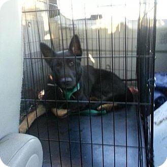 German Shepherd Dog Dog for adoption in selden, New York - Tomahawk