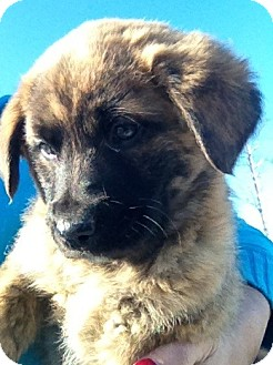 Australian Cattle Dog/Border Collie Mix Puppy for adoption in Somers, Connecticut - Bear