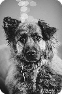 Chow Chow/Golden Retriever Mix Dog for adoption in Portland, Oregon - Raven