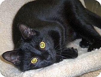 Domestic Shorthair Cat for adoption in Huntington, New York - Oli
