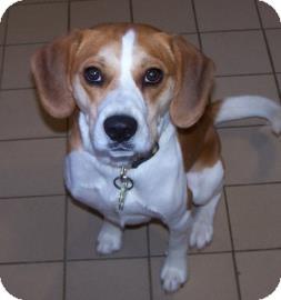 Beagle Mix Dog for adoption in Jackson, Michigan - Tucker