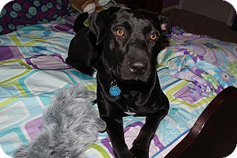 Labrador Retriever Mix Dog for adoption in Marlton, New Jersey - Bella- a sweet angel