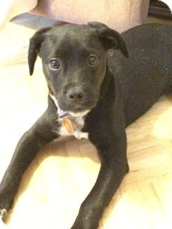 Labrador Retriever Mix Puppy for adoption in North Brunswick, New Jersey - Missy