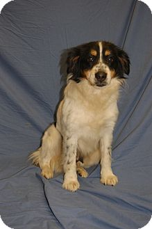 Australian Shepherd Mix Dog for adoption in Washington, D.C. - Kora