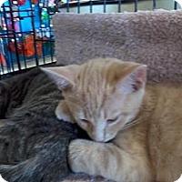 Adopt A Pet :: Buff Boy - West Dundee, IL