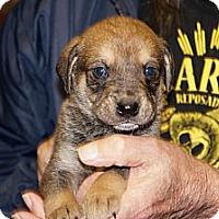Adopt A Pet :: Toby aka Stella 10 - Conway, AR