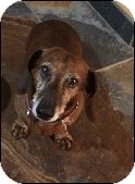 Dachshund Mix Dog for adoption in Las Vegas, Nevada - Rocky
