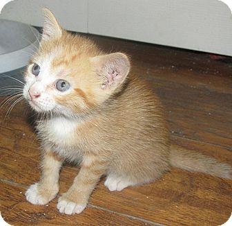 American Shorthair Kitten for adoption in Tampa, Florida - Karakum