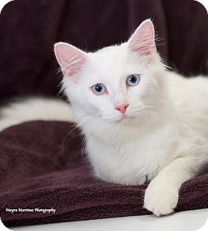 Domestic Longhair Cat for adoption in Huntsville, Alabama - Bear