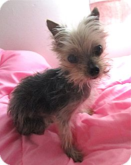 Yorkie, Yorkshire Terrier Dog for adoption in Studio City, California - Monkey