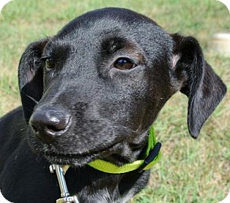 Labrador Retriever Mix Puppy for adoption in Bulverde, Texas - Buddy