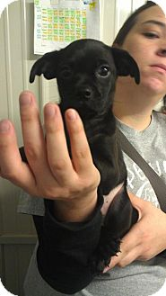 Pug/Terrier (Unknown Type, Medium) Mix Puppy for adoption in Greenville, Kentucky - Scrappy