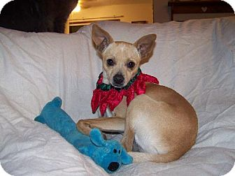 Chihuahua Dog for adoption in Green Cove Springs, Florida - Wolf-E