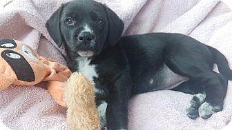 Labrador Retriever/Spaniel (Unknown Type) Mix Puppy for adoption in Woodbridge, Virginia - Rogue