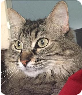 Maine Coon Cat for adoption in Tucson, Arizona - Jane (The Hidden Gem)
