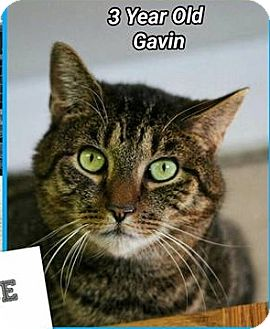 Domestic Shorthair Cat for adoption in Pompton Plains, New Jersey - Gavin