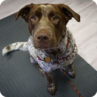 German Shorthaired Pointer/Labrador Retriever Mix Dog for adoption in Vancouver, British Columbia - Bella