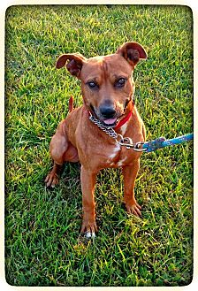 American Staffordshire Terrier/Rhodesian Ridgeback Mix Dog for adoption in Charlotte, North Carolina - Ray