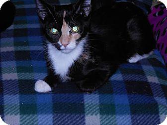 Calico Kitten for adoption in Philadelphia, Pennsylvania - Athenav