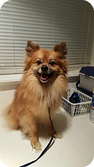 Pomeranian Dog for adoption in Kansas city, Missouri - Tico