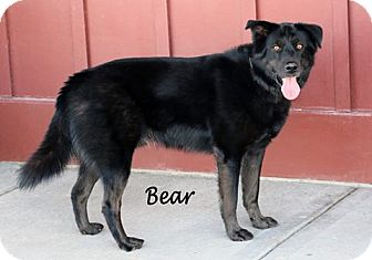 Siberian Husky/Labrador Retriever Mix Dog for adoption in Idaho Falls, Idaho - Bear