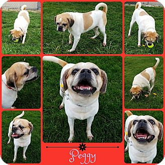 Pug/Beagle Mix Dog for adoption in Joliet, Illinois - Peggy