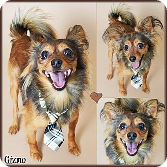 Papillon/Chihuahua Mix Dog for adoption in PHOENIX, Arizona - Gizmo