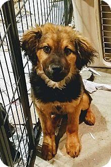 German Shepherd Dog/Collie Mix Puppy for adoption in Chicago, Illinois - Derek(ADOPTED!)