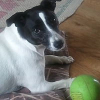 Jack Russell Terrier Dog for adoption in Bonnieville, Kentucky - Daisy