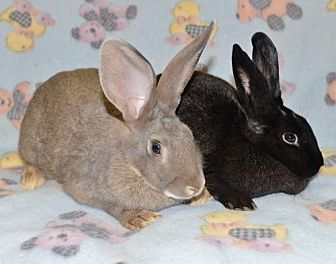 Belgian Hare Mix for adoption in Chesterfield, Missouri - Ava and Aly