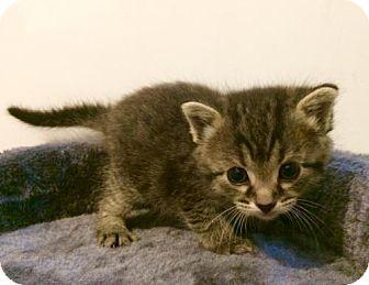 Domestic Shorthair Kitten for adoption in Northeast, Ohio - Mira