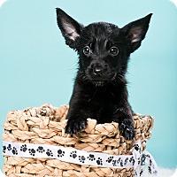 Adopt A Pet :: Smalls - Houston, TX