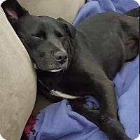 Adopt A Pet :: Callie/Izzy - Huntley, IL
